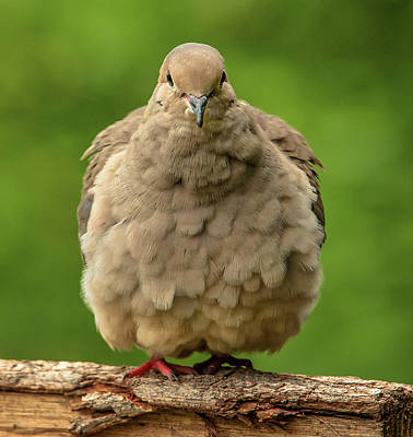 Photograph - Puffed Dove by Jim Moore