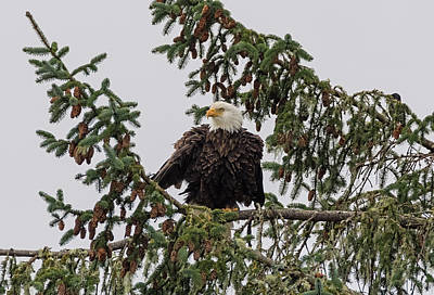 Photograph - Puffed Up Eagle by Loree Johnson