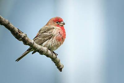 Photograph - Puffed Up House Finch by Joni Eskridge