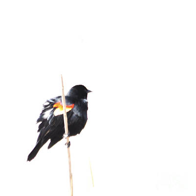 Puffed Up Red-winged Blackbird Art Print