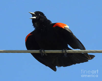 Photograph - Puffed Up Singer by Kathy M Krause