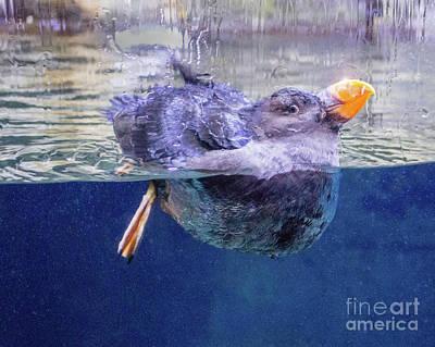 Photograph - Puffen 1 by Cheryl Del Toro