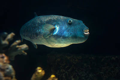 Photograph - Puffer by Robin-Lee Vieira