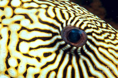 Pufferfish Art Print by Dave Fleetham - Printscapes