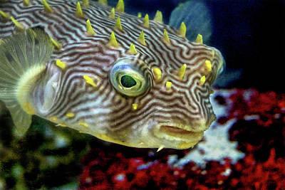 Photograph - Pufferfish by Richard Goldman