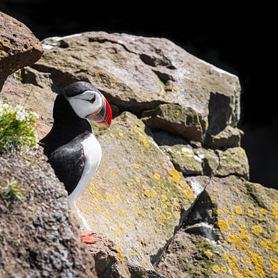 Photograph - Puffin And Rocks by Matthias Hauser