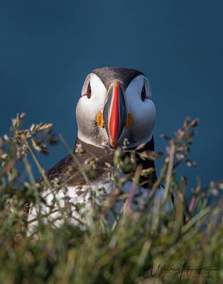 Photograph - Atlantic Puffin - 9361,s by Wally Hampton