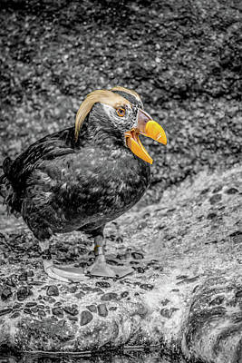 Photograph - Puffin Bw With Splash Of Color by Rob Green