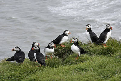 Photograph - Puffin Conference by Michele Burgess