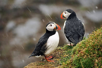Puffin Couple Print by Wixmo