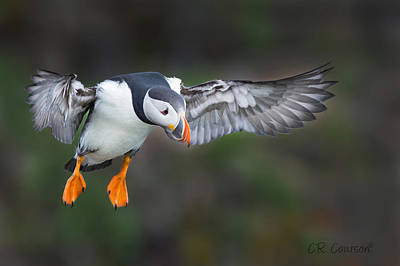 Photograph - Puffin Flight by CR  Courson