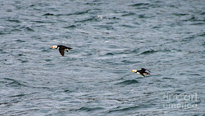 Photograph - Horned Puffin Flight by Louise Magno