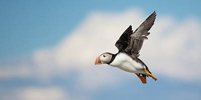 Photograph - Puffin In Flight by Paul Treseler