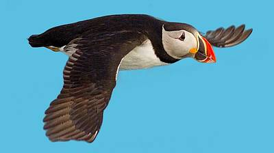 Photograph - Puffin In Flight T-shirt by Tony Mills