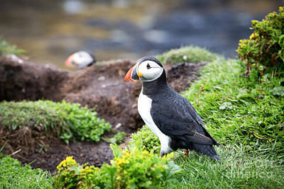 Puffin Wall Art - Photograph - Puffin  by Jane Rix