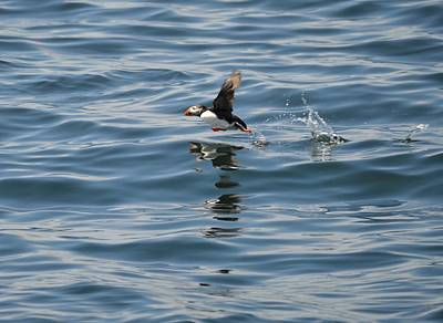 Photograph - North Atlantic Puffin by Jewels Blake Hamrick