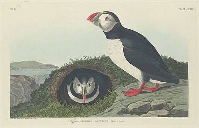 Puffin Drawing - Puffin by Dreyer Wildlife Print Collections