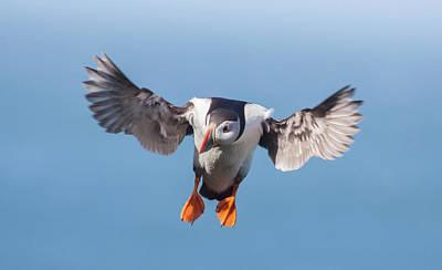 Photograph - Puffin Landing by Peter Walkden