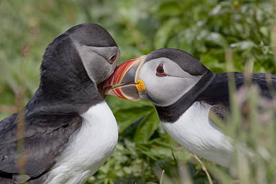 Photograph - Puffin Love by Karen Van Der Zijden