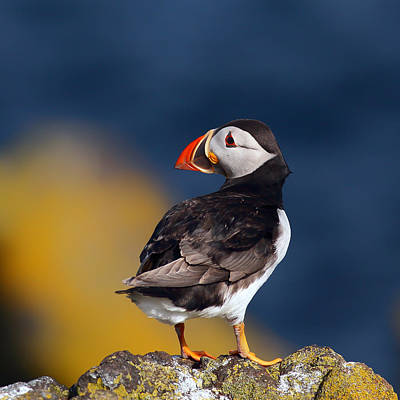 Photograph - Puffin Perched On Rock by Grant Glendinning