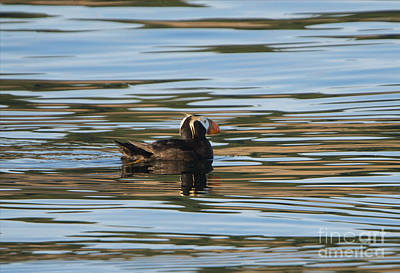 Puffin Reflected Print by Mike Dawson