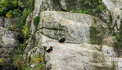 Photograph - Tufted Puffin Rock by Louise Magno