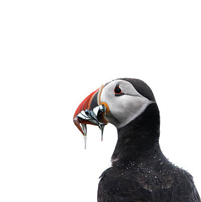 Photograph - Puffin by Roger Lever