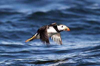 Digital Art - Puffin - Sea Skimmer by Pat Speirs