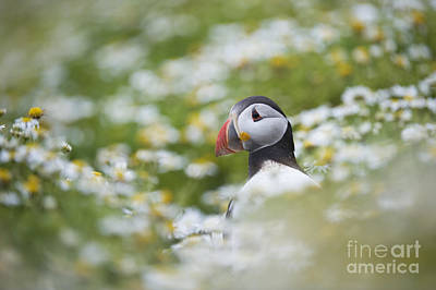 Puffin Wall Art - Photograph - Puffin by Tim Gainey