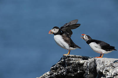 Photograph - Atlantic Puffins - 8775-a,s by Wally Hampton