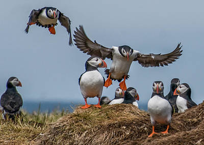 Photograph - Puffins by Brian Tarr