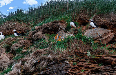 Photograph - Puffins Nesting by Patrick Boening