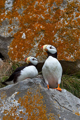 Puffins On A Lichen-covered Cliff Horned Puffins, Fratercula Corniculata, Lake Clark National Park, Alaska, Usa Art Print by Mint Images/ Art Wolfe