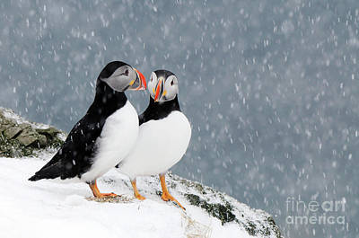 Photograph - Puffins Pair In Snowfall by Jan Vermeer