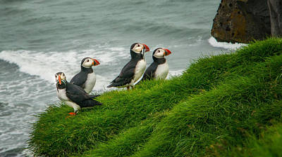 Puffins Returning From Fishing Original