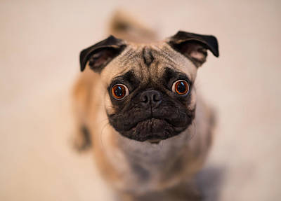 Animal Lover Photograph - Pug Dog by Laura Fasulo