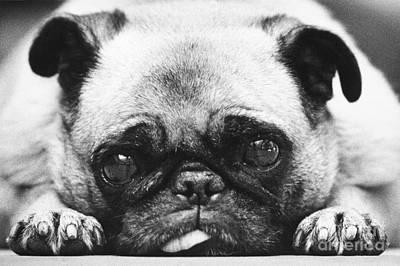 Animal Portraiture Photograph - Pug Dog by Lynn Lennon