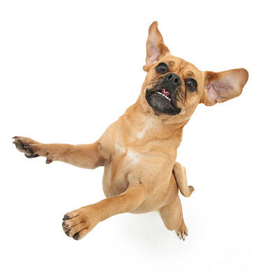 Photograph - Puggle Bouncing by Warren Photographic