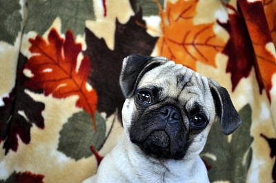 Photograph - Puggsly by Trish Tritz