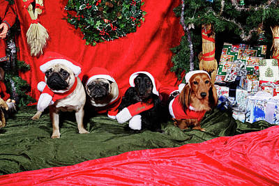 Photograph - Pugs And Dachshounds Dressed As Father Christmas by Christian Lagereek