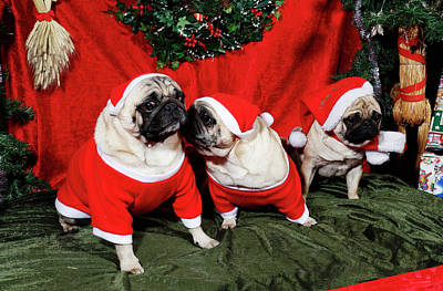 Photograph - Pugs Dressed As Father-christmas by Christian Lagereek
