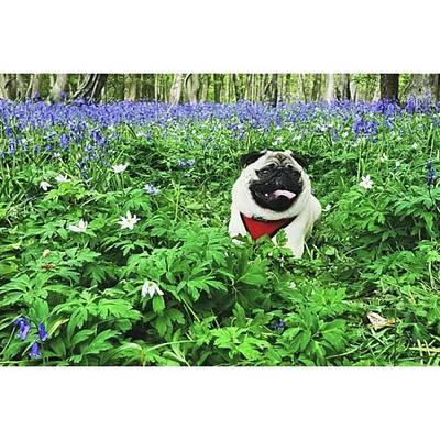 Photograph - #pugstagram #pugsofinstagram #bluebell by Natalie Anne