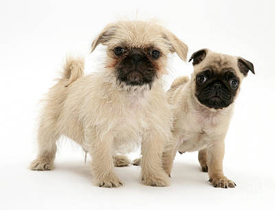 Puppies. Puppy Photograph - Pugzu And Pug Puppies by Jane Burton
