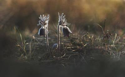 Photograph - Pulsatilla Nigricans by Davorin Mance