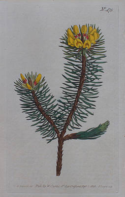 Native Plants Drawing - Pultanaea  by Curtis Botanical Magazine