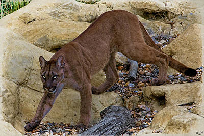 Photograph - Puma Stalking by Chris Lord