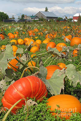 Photograph - Pumpkin Field by Frank Townsley