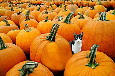 Photograph - Pumpkin Patch Cat by Diana Angstadt