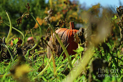 Photograph - Pumpkin Patch by Jimmy Ostgard