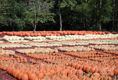 Photograph - Pumpkins 23 by Andrea Anderegg
